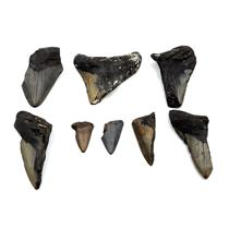 MEGALODON TEETH Lot of 8 Fossils w/8 info cards SHARK #15668 30o