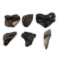MEGALODON TEETH Lot of 6 Fossils w/6 info cards SHARK #15670 34o