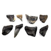 MEGALODON TEETH Lot of 8 Fossils w/8 info cards SHARK #15671 39o