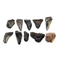 MEGALODON TEETH Lot of 10 Fossils w/10 info cards SHARK #15674 39o