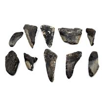 MEGALODON TEETH Lot of 10 Fossils w/10 info cards SHARK #15678 44o