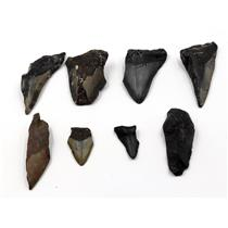 MEGALODON TEETH Lot of 8 Fossils w/8 info cards SHARK #15683 25o