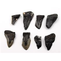 MEGALODON TEETH Lot of 8 Fossils w/8 info cards SHARK #15686 30o