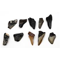 MEGALODON TEETH Lot of 10 Fossils w/10 info cards SHARK #15698 23o