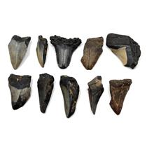 MEGALODON TEETH Lot of 10 Fossils w/10 info cards SHARK #15699 26o