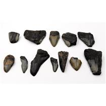 MEGALODON TEETH Lot of 12 Fossils w/12 info cards SHARK #15705 27o