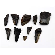 MEGALODON TEETH Lot of 10 Fossils w/10 info cards SHARK #15707 25o