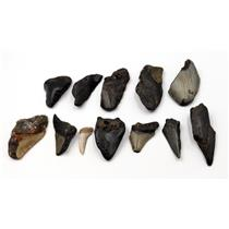 MEGALODON TEETH Lot of 12 Fossils w/12 info cards SHARK #15715 22o