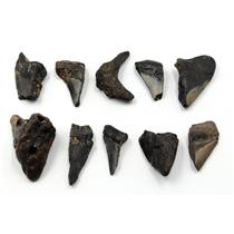 MEGALODON TEETH Lot of 10 Fossils w/10 info cards SHARK #15717 19o