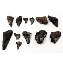 MEGALODON TEETH Lot of 12 Fossils w/12 info cards SHARK #15718 19o