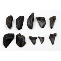 MEGALODON TEETH Lot of 10 Fossils w/10 info cards SHARK #15721 16o