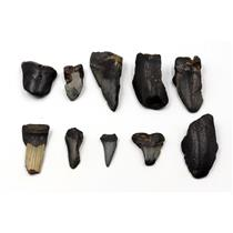 MEGALODON TEETH Lot of 10 Fossils w/10 info cards SHARK #15724 16o