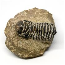 Crotalocephalus TRILOBITE Fossil Morocco 390 Million Years old #15744 18o