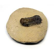 Crotalocephalus TRILOBITE Fossil Morocco 390 Million Years old #15745 17o