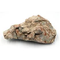 UNPREPARED Oreodont Skull Fossil Oligocene 30 MYO #15969 74o
