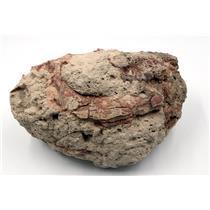 UNPREPARED Oreodont Eporeodon Skull Fossil Oligocene 30 Mil Yrs Old #15974