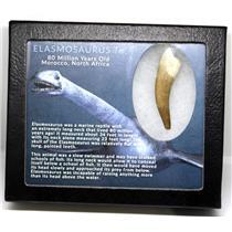 Elasmosaur Dinosaur Tooth 2.375 inches MDB w/COA 80 MYO #16002 13o