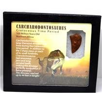 "CARCHARODONTOSAURUS Dinosaur Tooth 1.216"" Fossil African T-Rex MDB #16017 14o"