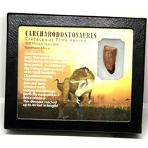 "CARCHARODONTOSAURUS Dinosaur Tooth 1.285"" Fossil African T-Rex MDB #16018 14o"