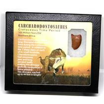 "CARCHARODONTOSAURUS Dinosaur Tooth 1.037"" Fossil African T-Rex MDB #16020 14o"