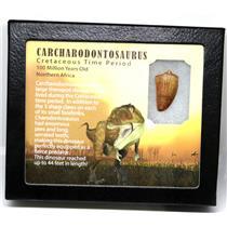 "CARCHARODONTOSAURUS Dinosaur Tooth 1.185"" Fossil African T-Rex MDB #16021 14o"