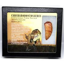 "CARCHARODONTOSAURUS Dinosaur Tooth 1.977"" Fossil African T-Rex MDB #16025 14o"