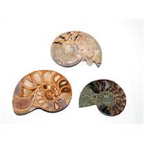 AMMONITE Fossils Lot of 3 (100-120 Mil Yrs old) Morocco & Madagascar  6o E