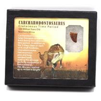 CARCHARODONTOSAURUS Dinosaur Tooth .713 Fossil African T-Rex w/COA LDB 16o E220