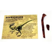 Dromaeosaur Dinosaur Tooth Fossil  100 MYO w/color card Lot of 2 E237