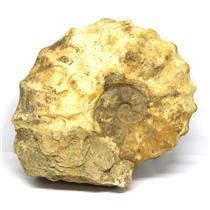 Ammonite Acanthoceras Split Polished Fossil Texas 96 MYO w/label  #16207 60o