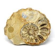 Ammonite Acanthoceras Split Polished Fossil Texas 96 MYO w/label  #16208 15o
