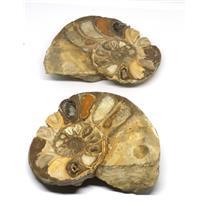Ammonite Acanthoceras Split Polished Fossil Texas 96 MYO w/label  #16212 26o