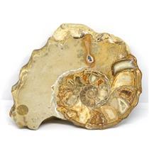 Ammonite Acanthoceras Split Polished Fossil Texas 96 MYO w/label  #16213 31o