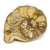 Ammonite Acanthoceras Split Polished Fossil Texas 96 MYO w/label  #16214 14o