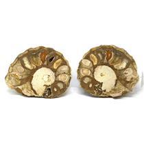 Ammonite Acanthoceras Split Polished Fossil Texas 96 MYO w/label  #16216 15o