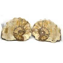 Ammonite Acanthoceras Split Polished Fossil Texas 96 MYO w/label  #16221 26o