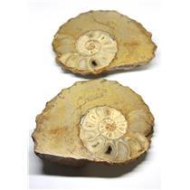 Ammonite Acanthoceras Split Polished Fossil Texas 96 MYO w/label  #16234 43o