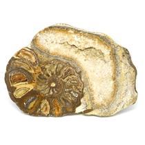 Ammonite Acanthoceras Split Polished Fossil Texas 96 MYO w/label  #16237 13o
