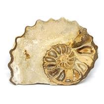 Ammonite Acanthoceras Split Polished Fossil Texas 96 MYO w/label  #16238 22o