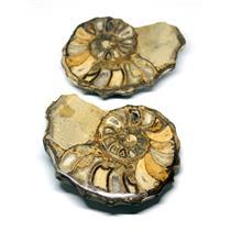Ammonite Acanthoceras Split Polished Fossil Texas 96 MYO w/label  #16243 36o