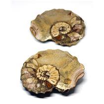 Ammonite Acanthoceras Split Polished Fossil Texas 96 MYO w/label  #16244 26o