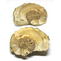 Ammonite Acanthoceras Split Polished Fossil Texas 96 MYO w/label  #16245 43o