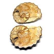 Ammonite Acanthoceras Split Polished Fossil Texas 96 MYO w/label  #16246 36o