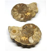 Ammonite Acanthoceras Split Polished Fossil Texas 96 MYO w/label  #16247 20o