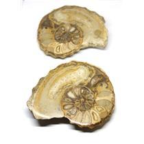 Ammonite Acanthoceras Split Polished Fossil Texas 96 MYO w/label  #16249 39o