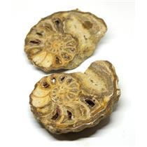 Ammonite Acanthoceras Split Polished Fossil Texas 96 MYO w/label  #16250 21o