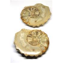 Ammonite Acanthoceras Split Polished Fossil Texas 96 MYO w/label  #16252 35o