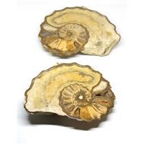 Ammonite Acanthoceras Split Polished Fossil Texas 96 MYO w/label  #16253 42o