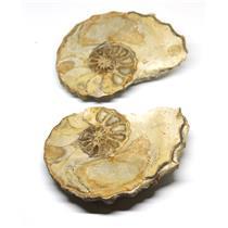 Ammonite Acanthoceras Split Polished Fossil Texas 96 MYO w/label  #16255 31o