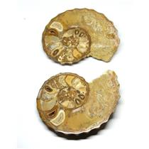 Ammonite Acanthoceras Split Polished Fossil Texas 96 MYO w/label  #16256 26o